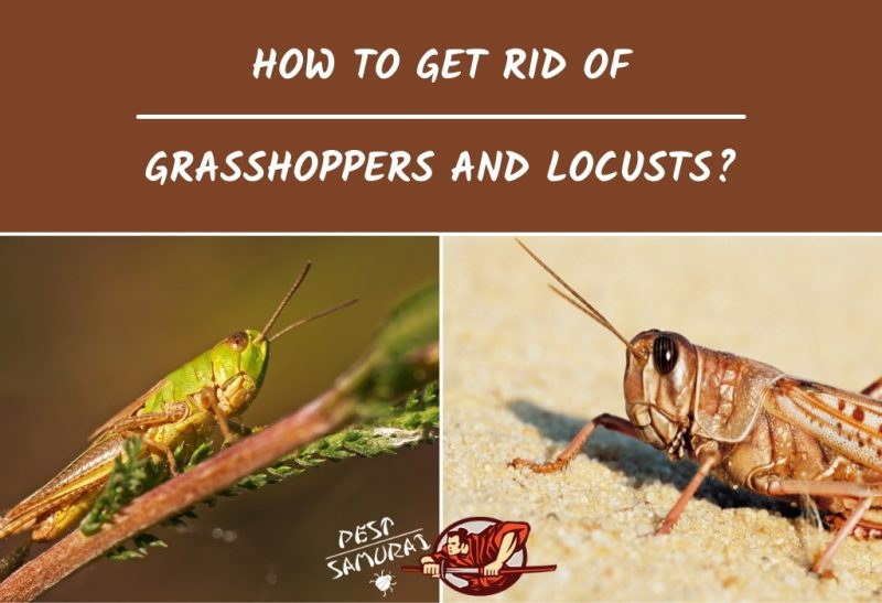 How To Get Rid of Grasshoppers and Locusts