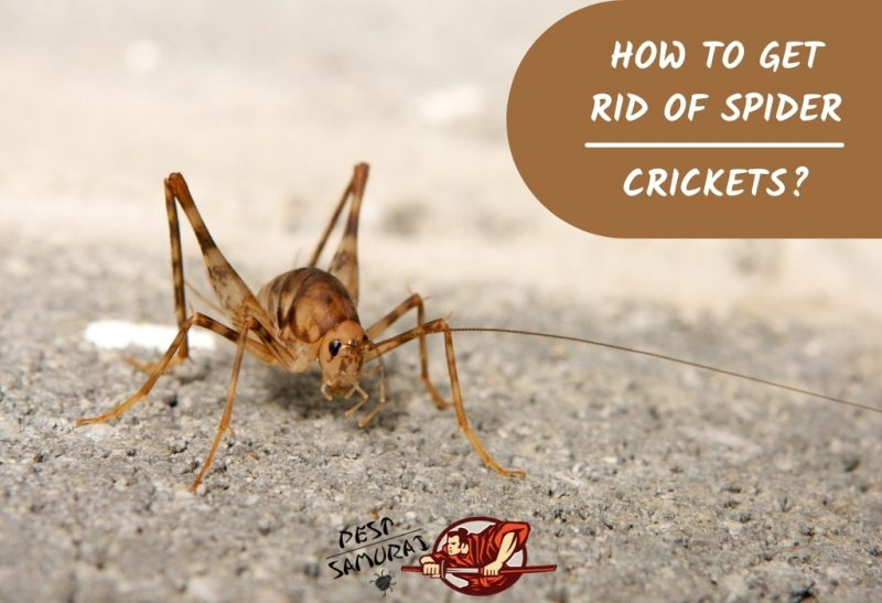 How To Get Rid of Spider Crickets