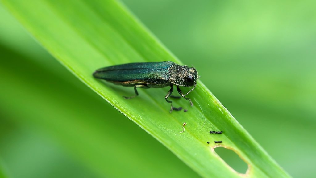 How To Treat Trees With Emerald Ash Borer