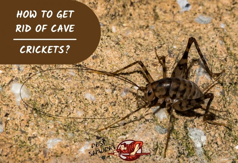 Get Rid Of Cave Crickets, How To Catch Crickets In Basement