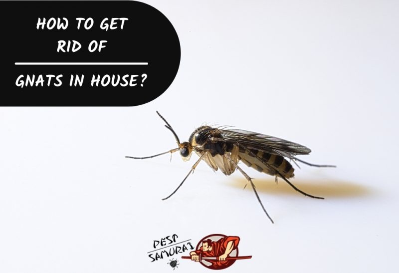 How to Get Rid of Gnats in House