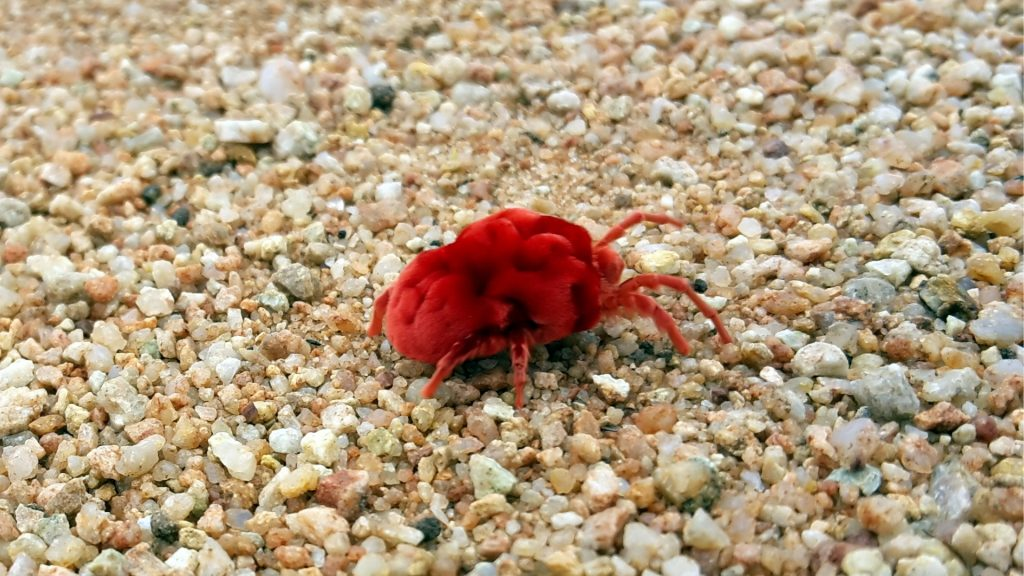 What Does a Chigger Bug Look Like