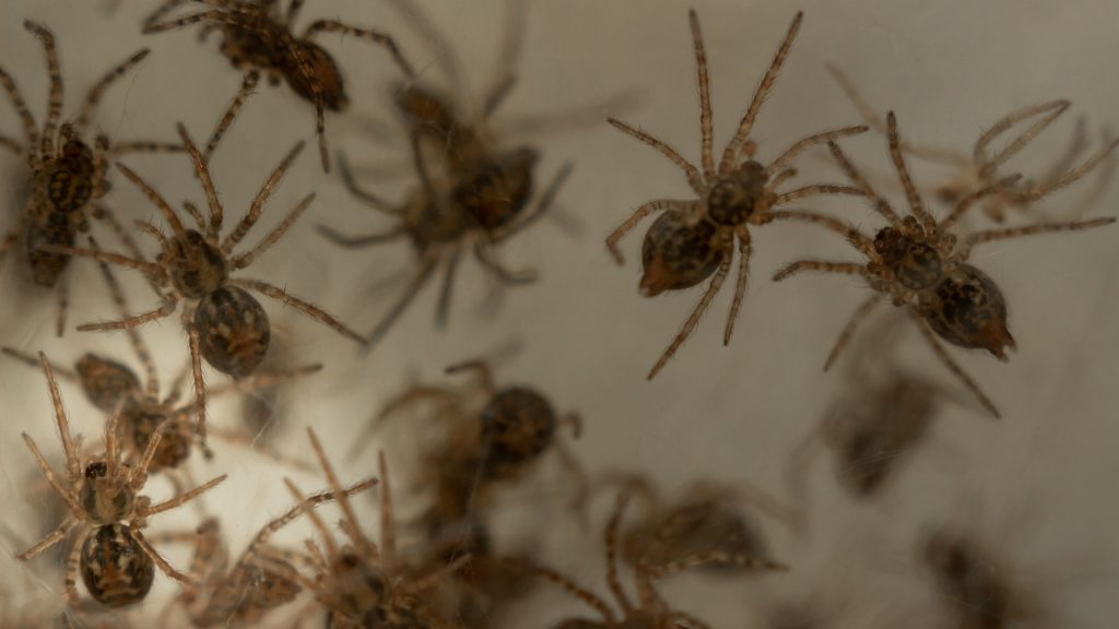 What Is a Group of Spiders Called