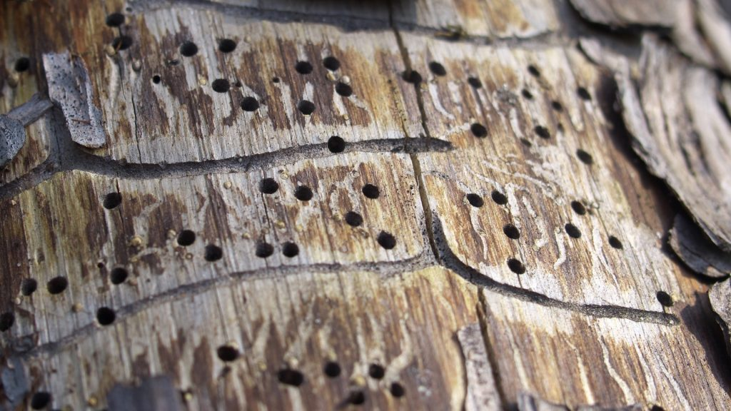 What Sections of the Tree Do Borer Beetles Attack