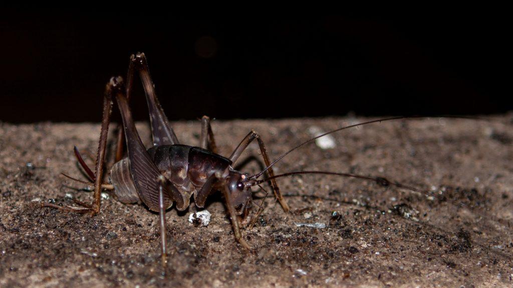 Where Do Cave Crickets Live