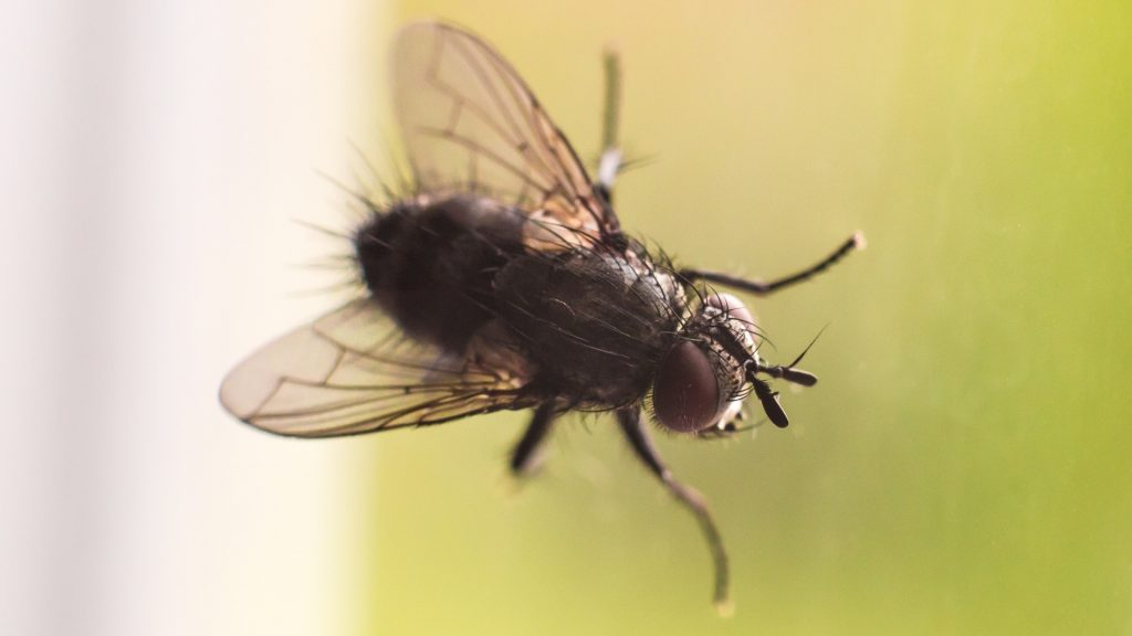 All About House Flies