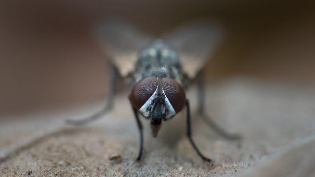Are House Flies Dangerous