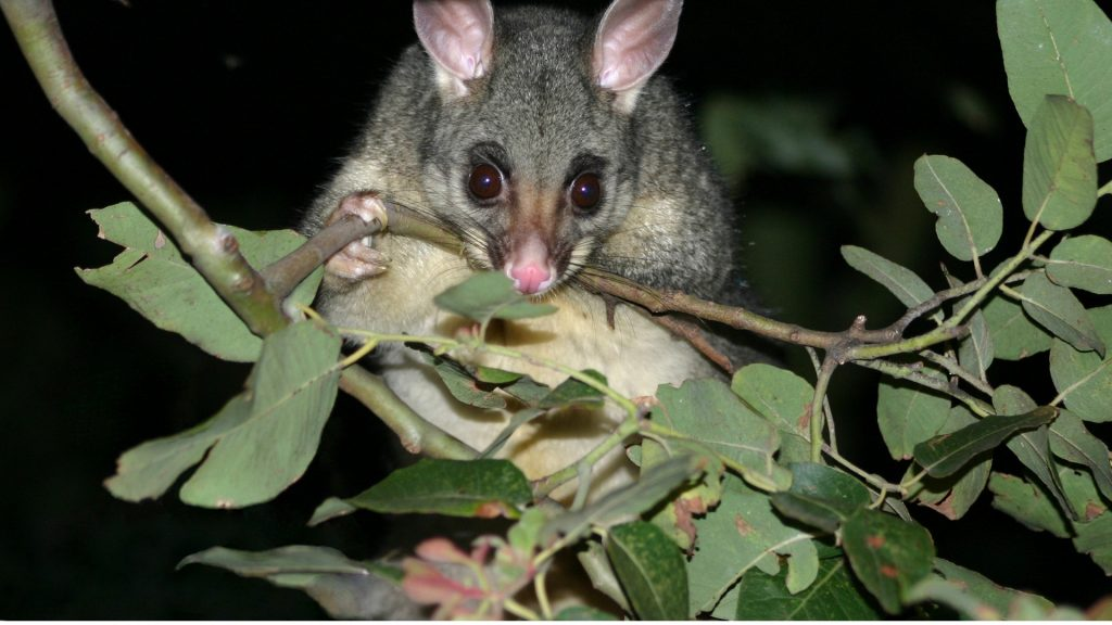Are Possums Nocturnal