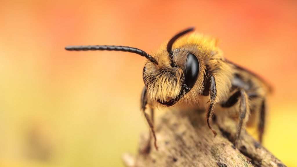 Are There Any Bumblebees That Live Alone
