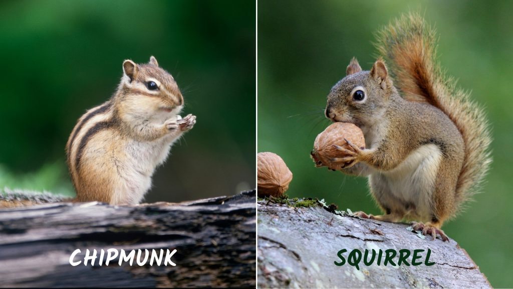 Difference Between Chipmunk and Squirrel
