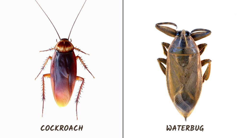 Difference Between Cockroach and Waterbug