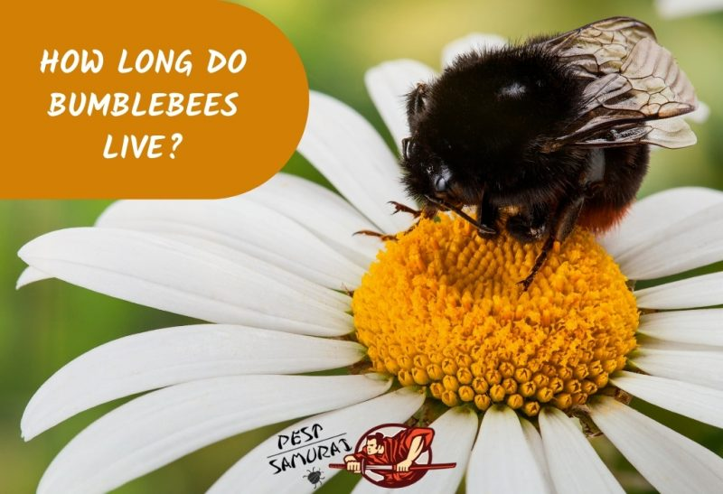 How Long Do Bumblebees Live