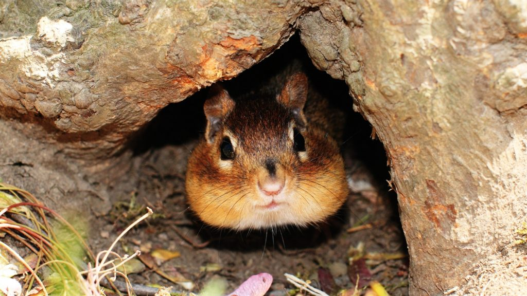 How To Fill Chipmunk Holes