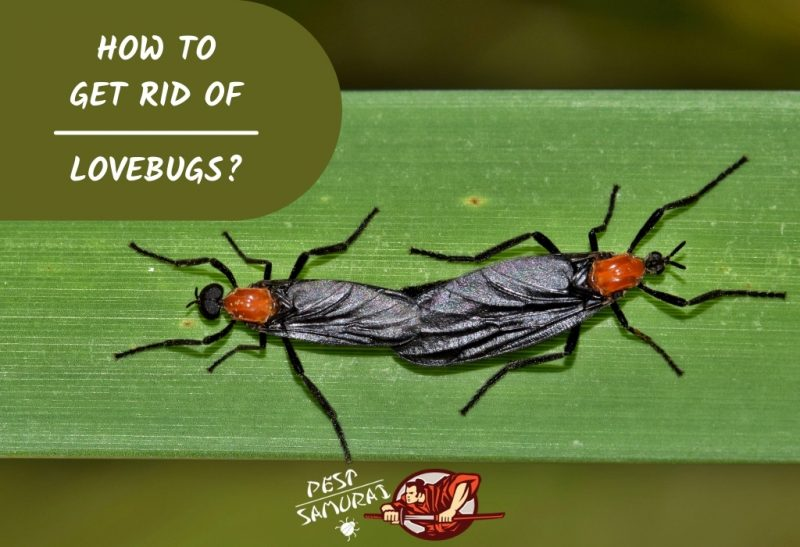 How To Get Rid of Lovebugs
