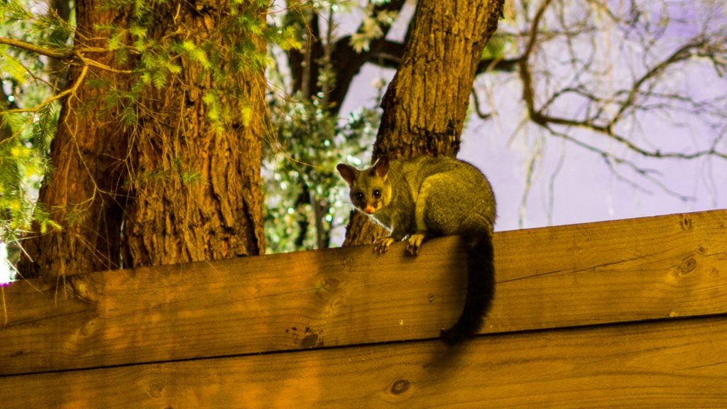 How To Get Rid of Possums in Yard