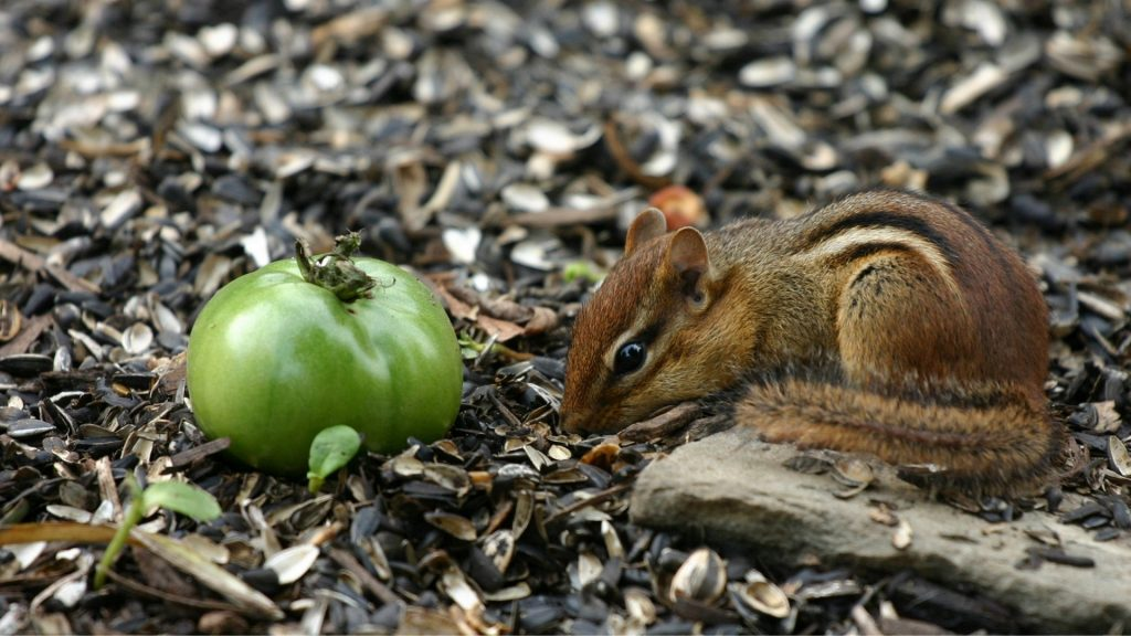 How To Keep Chipmunks Away From Tomato Plants