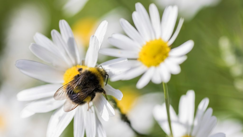 More Information About Bumblebees
