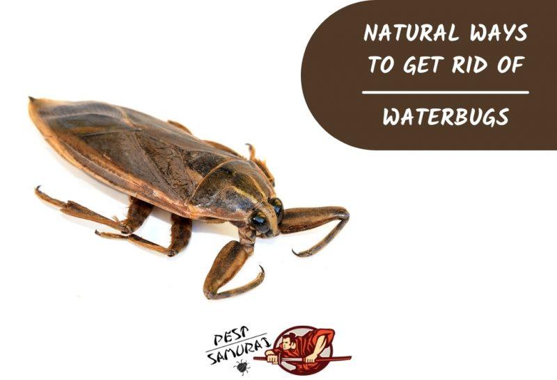 Natural Ways To Get Rid of Waterbugs