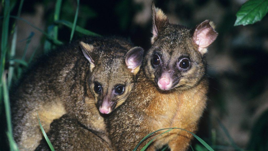 Types of Possums