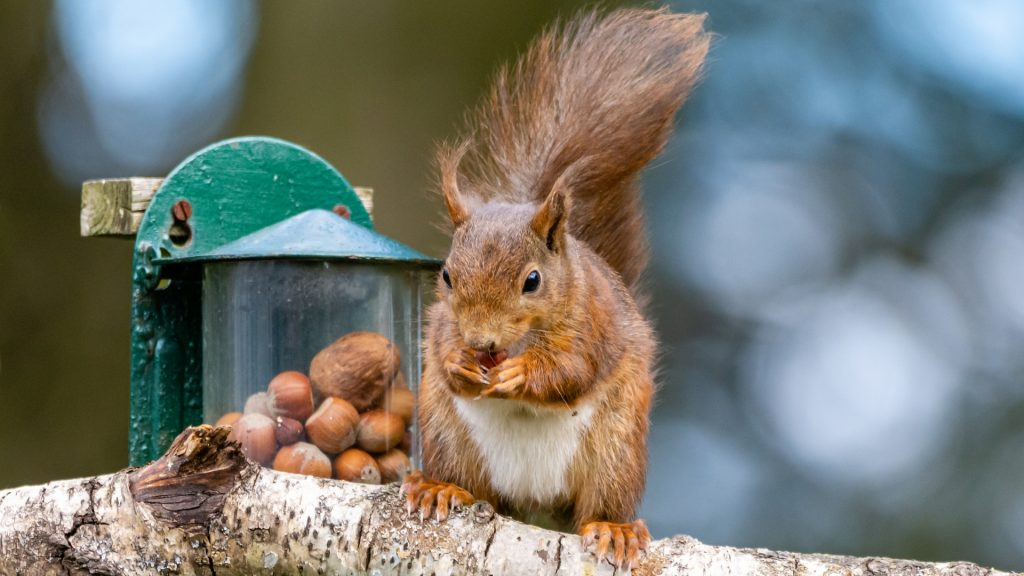 What Attracts Squirrels