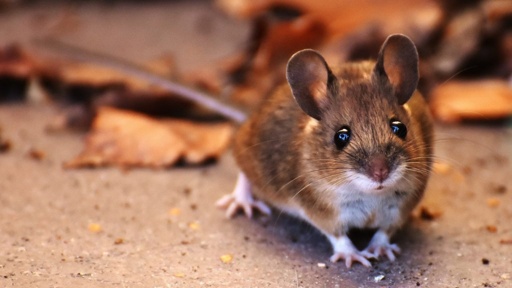 What Do Mice Look Like
