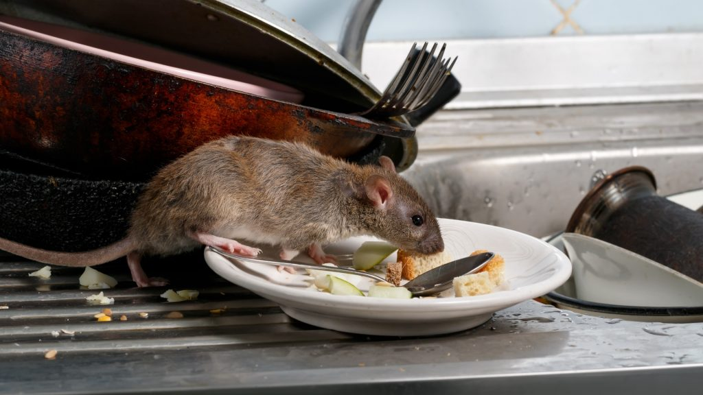 What Do Rats Eat