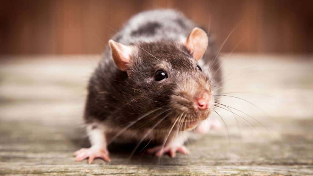 What Does a Rat Look Like