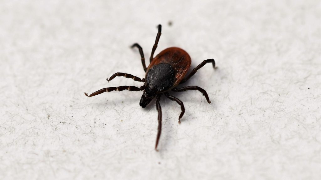 What Does a Tick Look Like