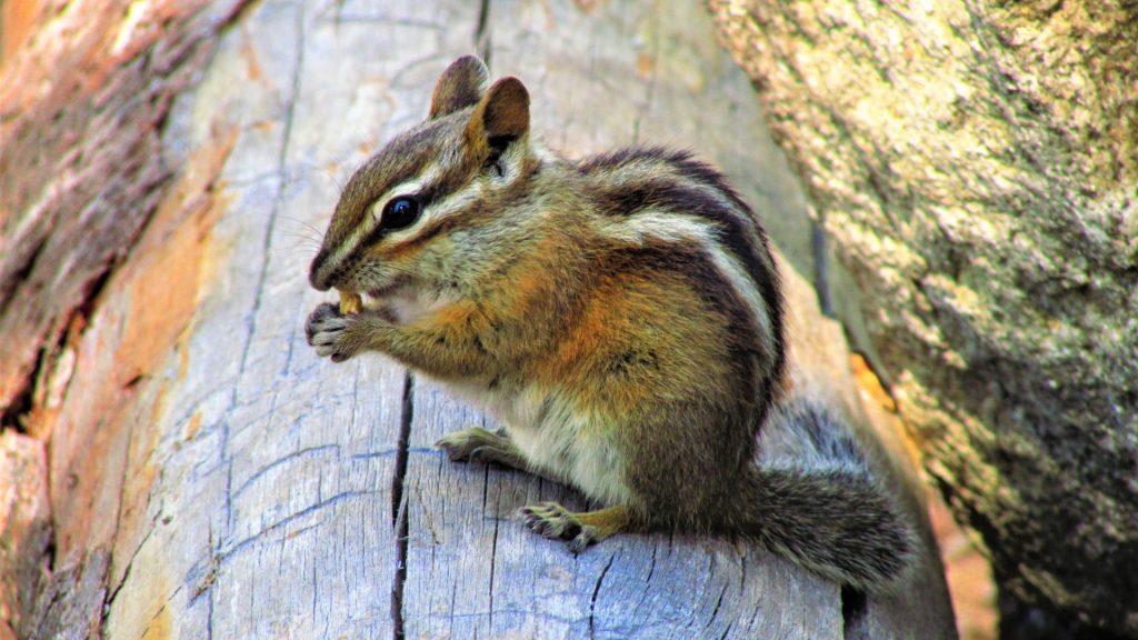 What Is a Chipmunk