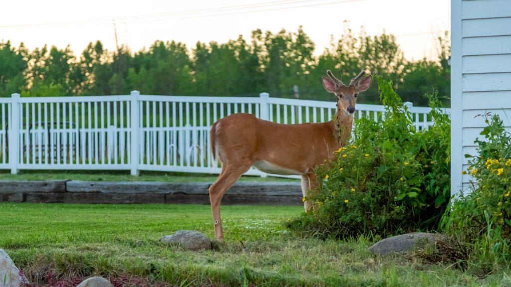 What Is the Best Deer Repellent