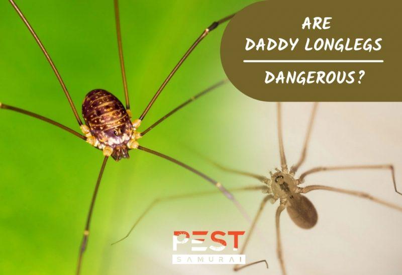 Are Daddy Longlegs Dangerous