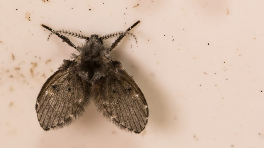 Are Drain Flies Harmful