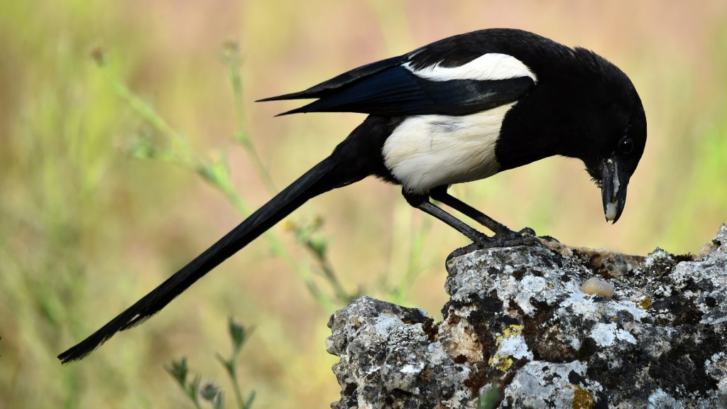 Are Magpies Aggressive and Dangerous