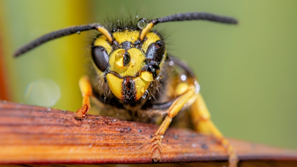 Are Yellow Jackets Dangerous