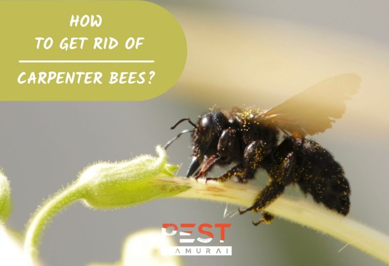Carpenter Bee Control How To Get Rid of Carpenter Bees