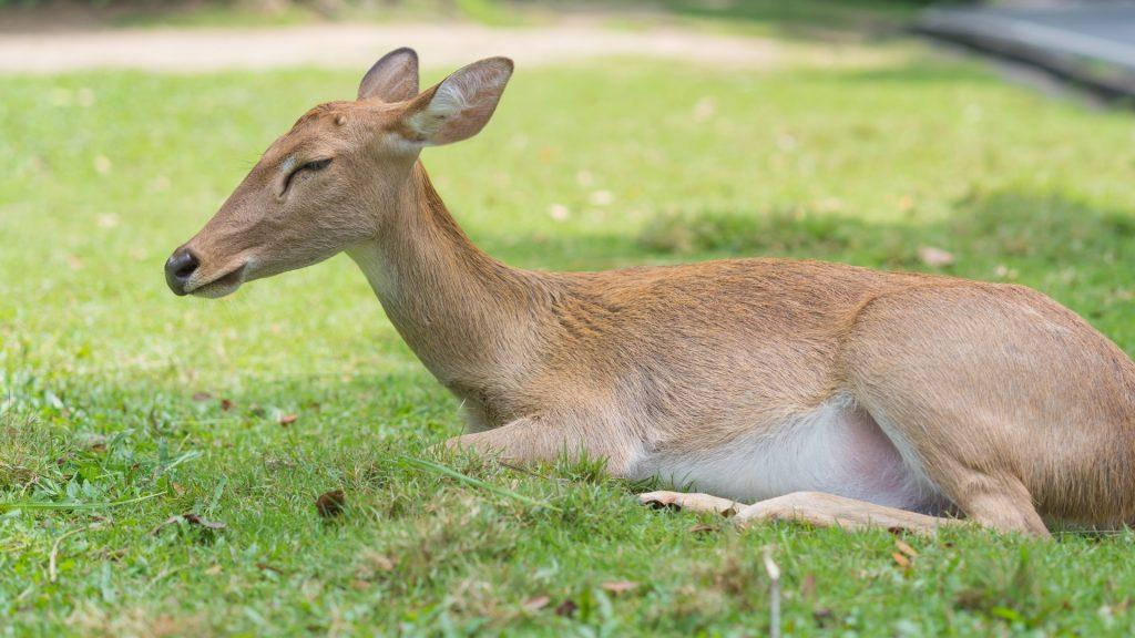 Do Deer Sleep Standing Up