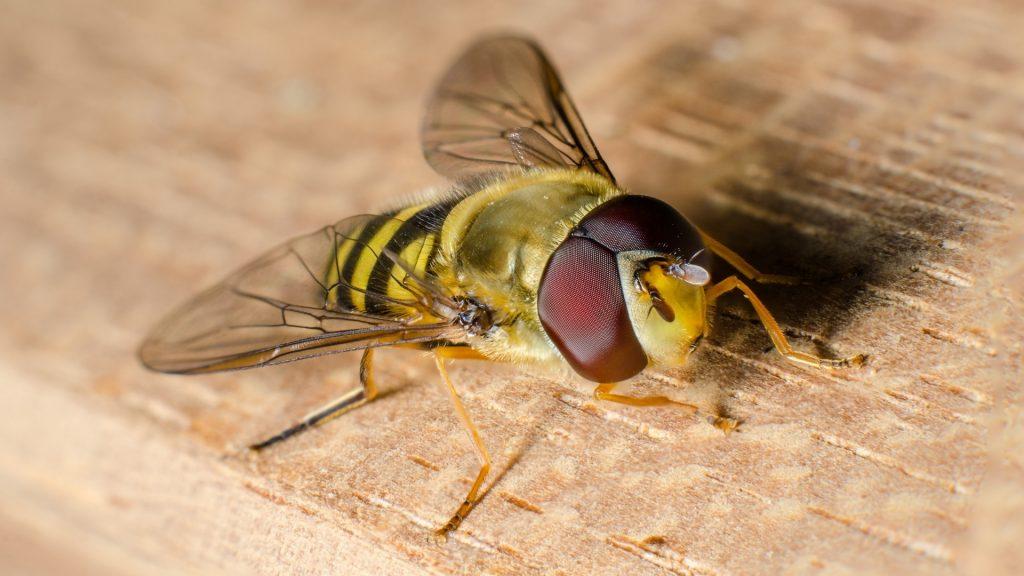 Do Hoverflies Bite
