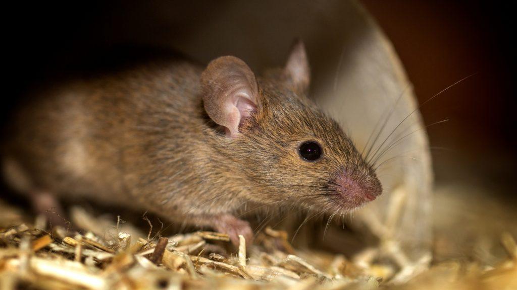 Do Mice Like Bleach