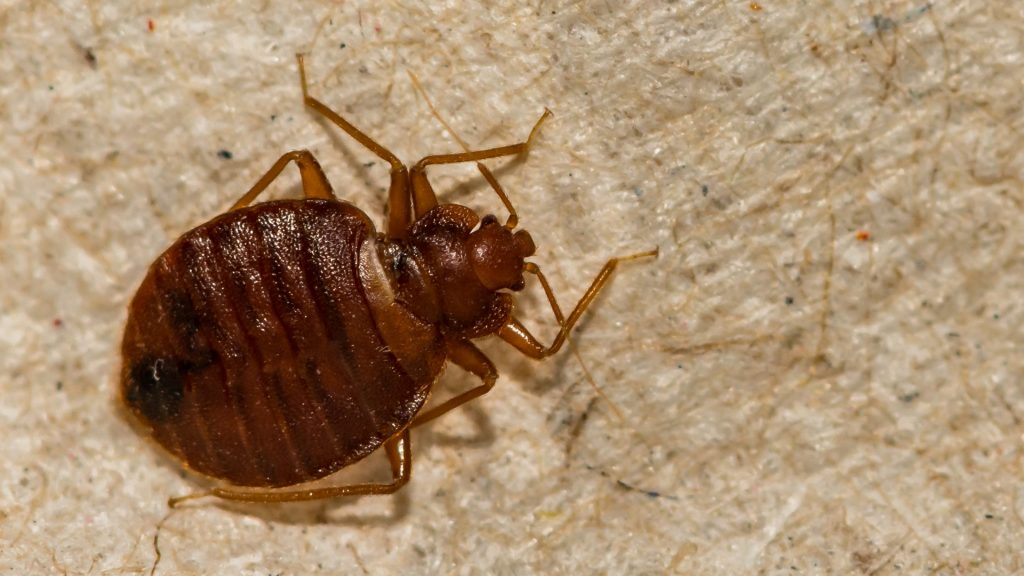 Does Diatomaceous Earth Kill Bed Bugs