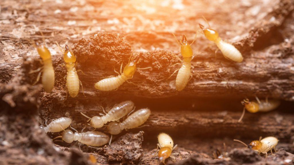 Does Diatomaceous Earth Kill Termites