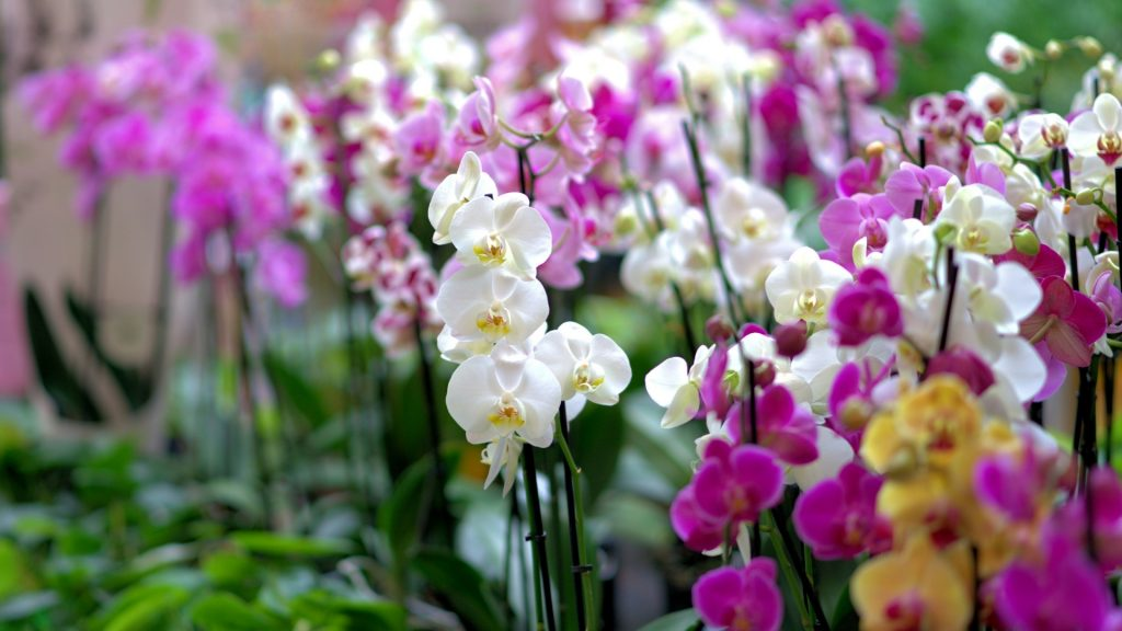 Flowers-Orchids