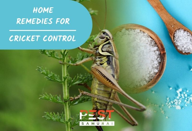 Home Remedies for Cricket Control