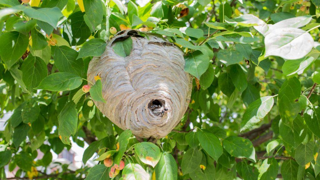 Hornet Nest Identification