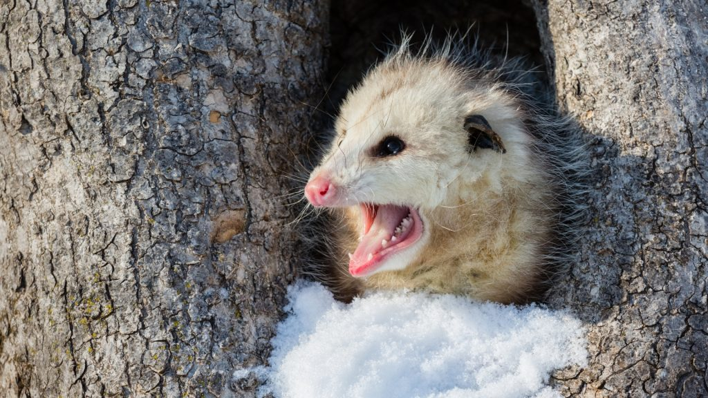 How Bad Are Opossums