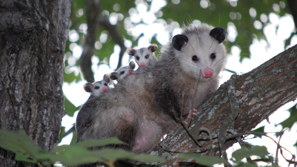 How Big Are Opossums