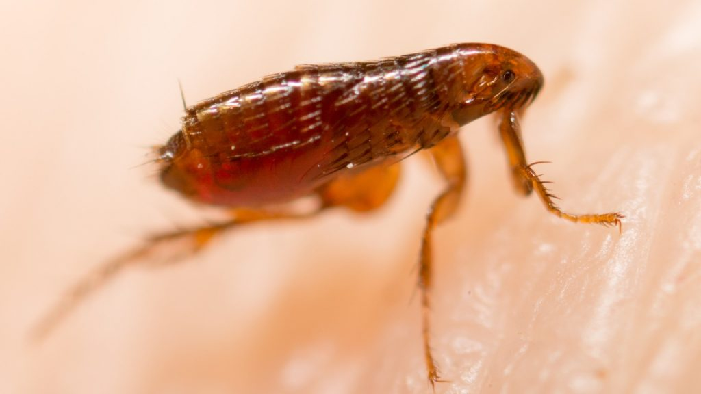 How Long Can Fleas Live on Humans (1)
