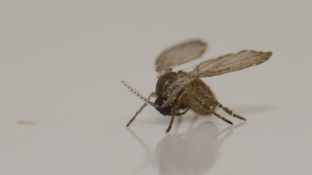 How Long Do Drain Flies Live