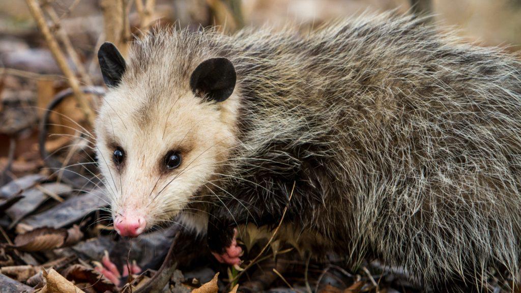 How Long Do Opossums Live