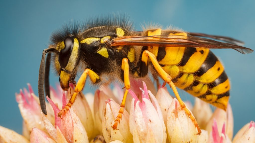 How Long Do Yellow Jackets Live