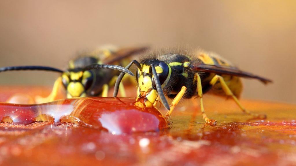 How Often Do Wasps Eat